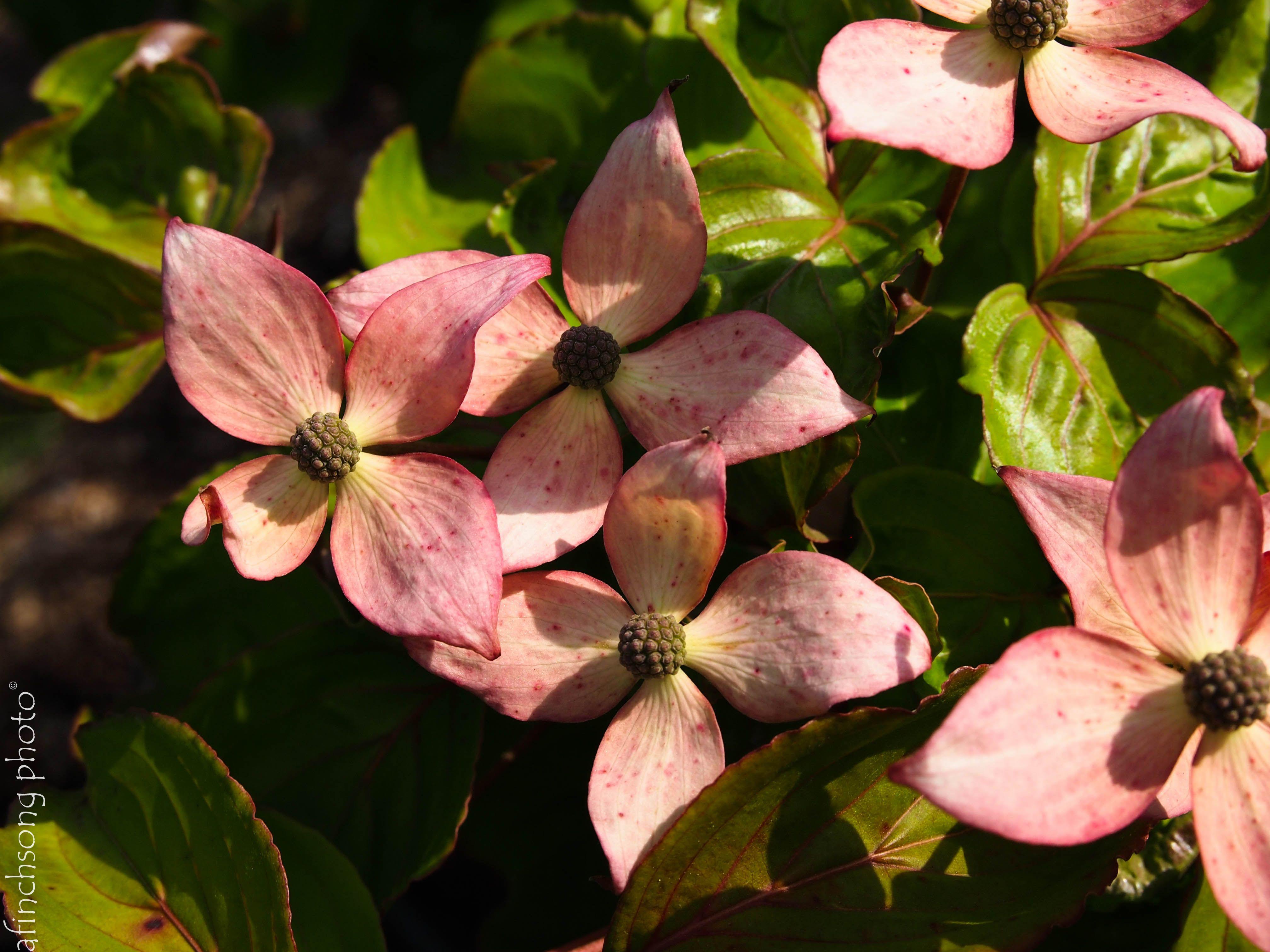 Cornus kousa Schmred HEART THROB CHINESE DOGWOOD deciduous flowering tree sun to part shade
