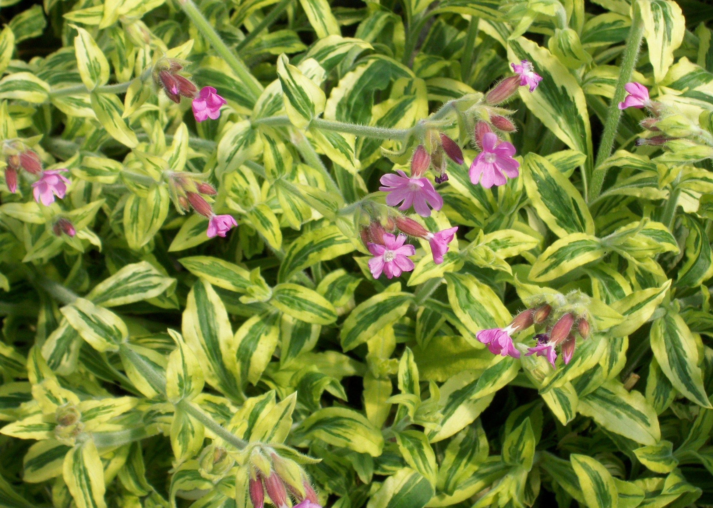 "Pink Catchfly Deep green foliage brightly edged with creamy gold makes this 18"" selection attractive all season but its delightful starry flowers in pink"
