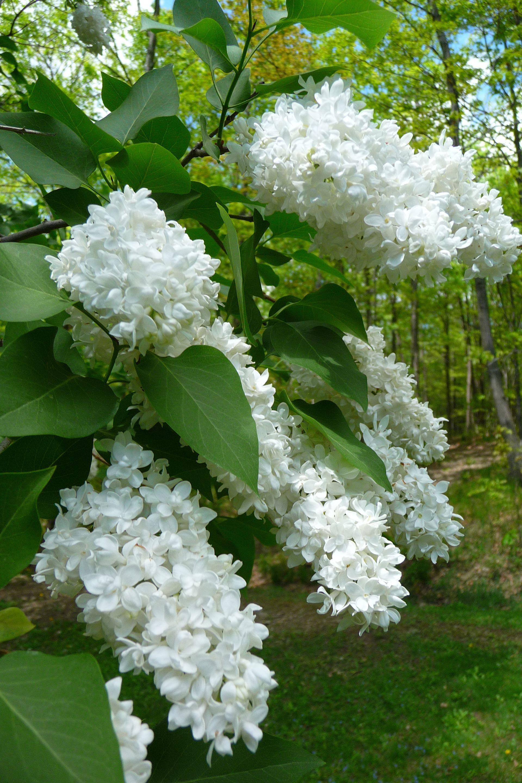 Syringa hyacinthiflora White Lilac