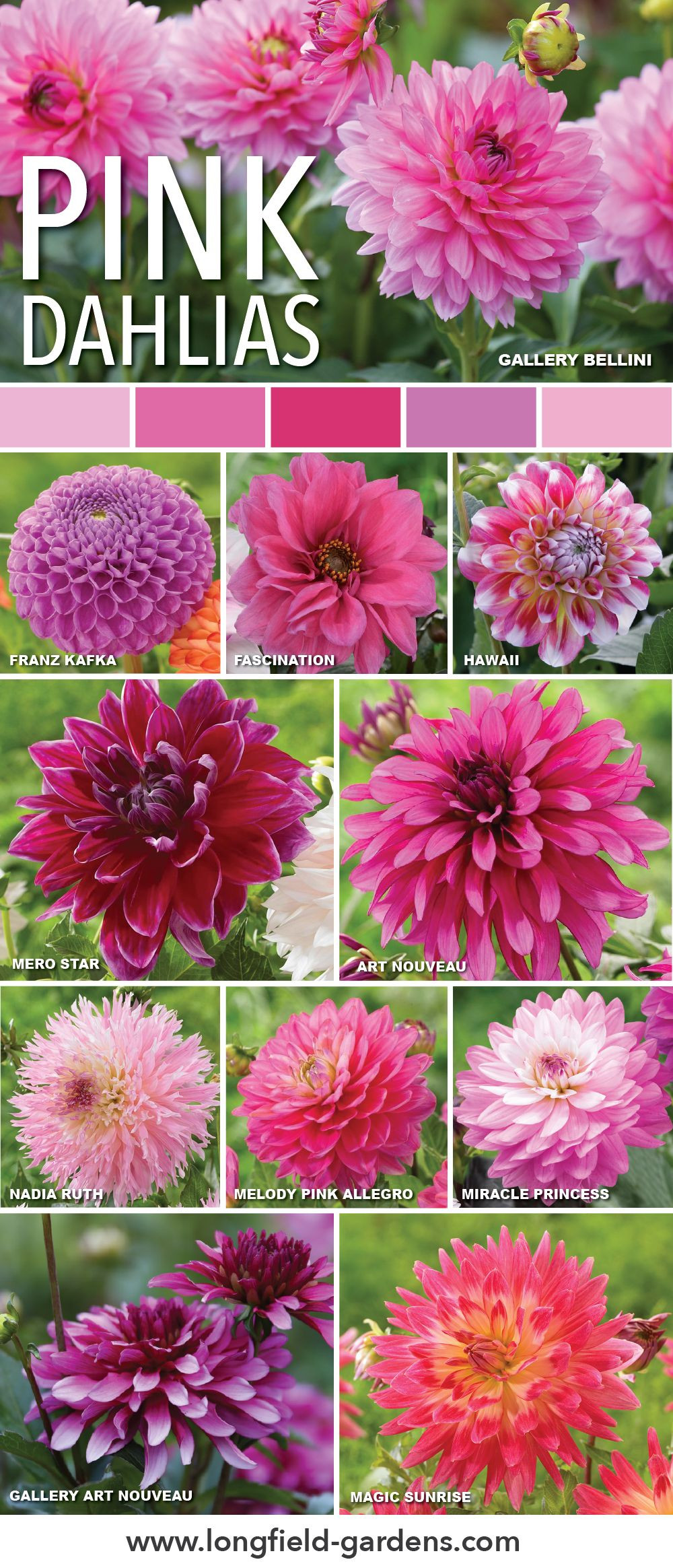 Pink dahlias add a bold or delicate touch to your garden