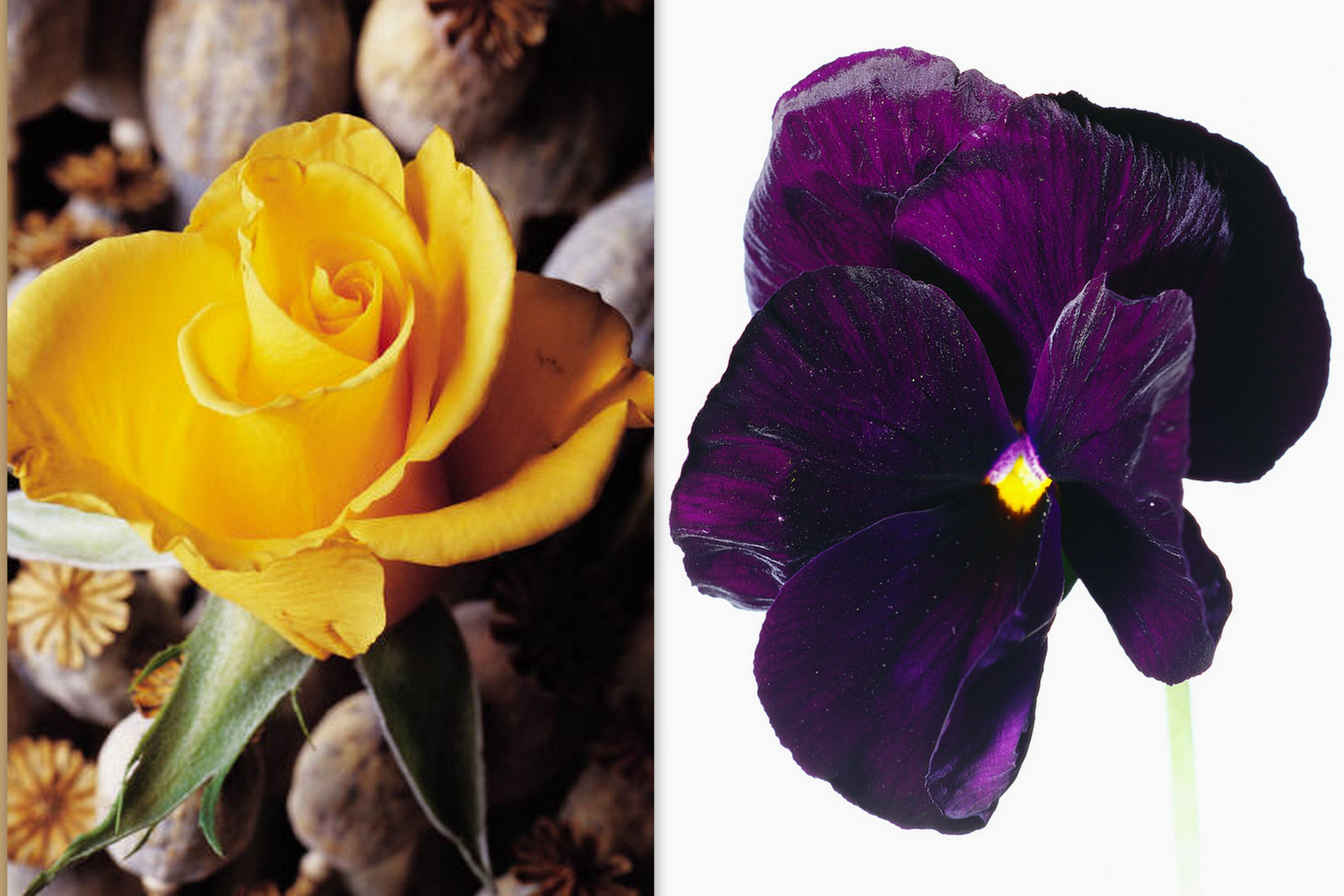 50TH ANNIVERSARY FLOWERS YELLOW ROSE & VIOLET Celebrates virtue humility and faith