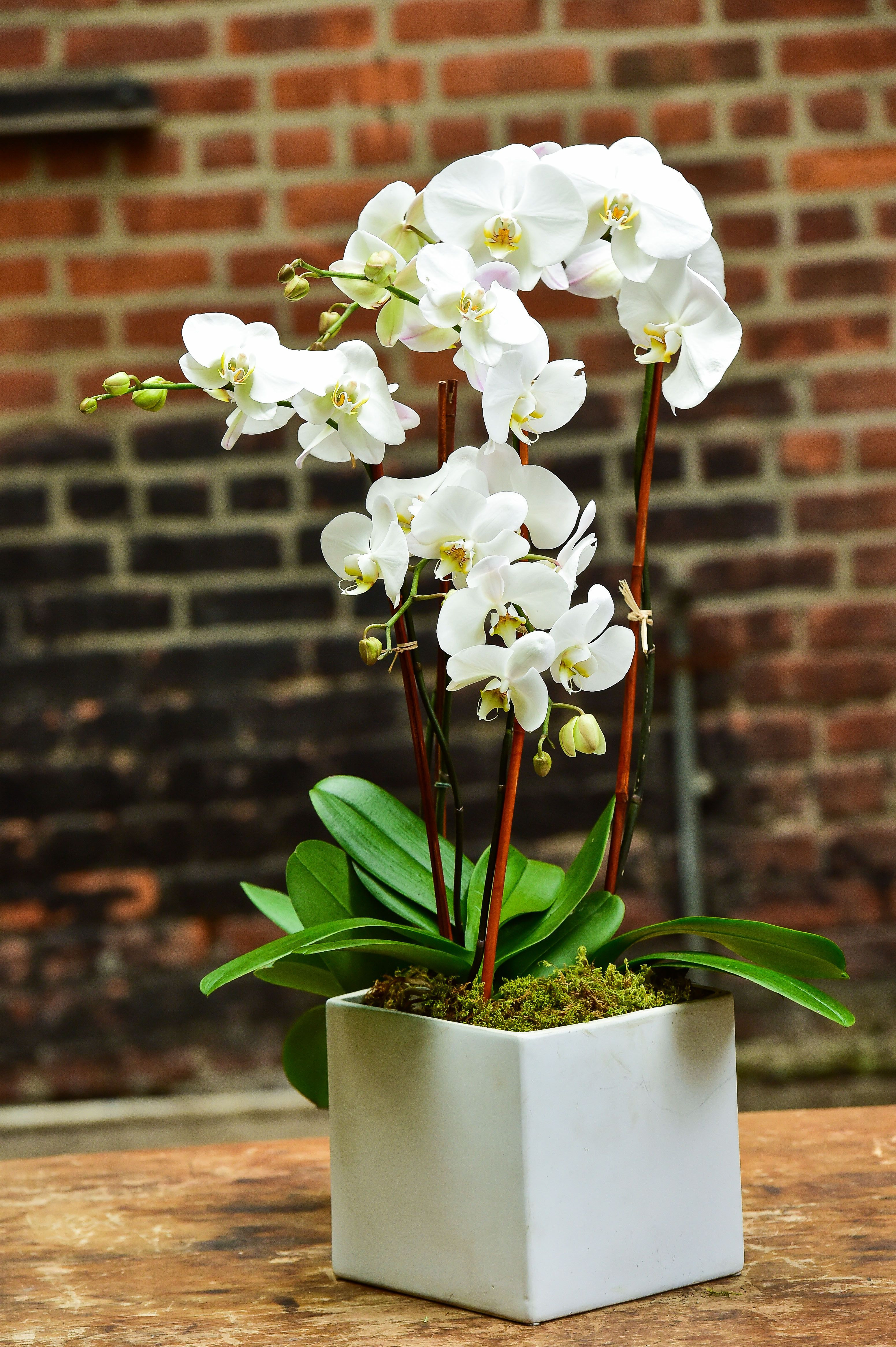 """4"""" & 6"""" Orchids in a white ceramic square Available for daily orchid"""