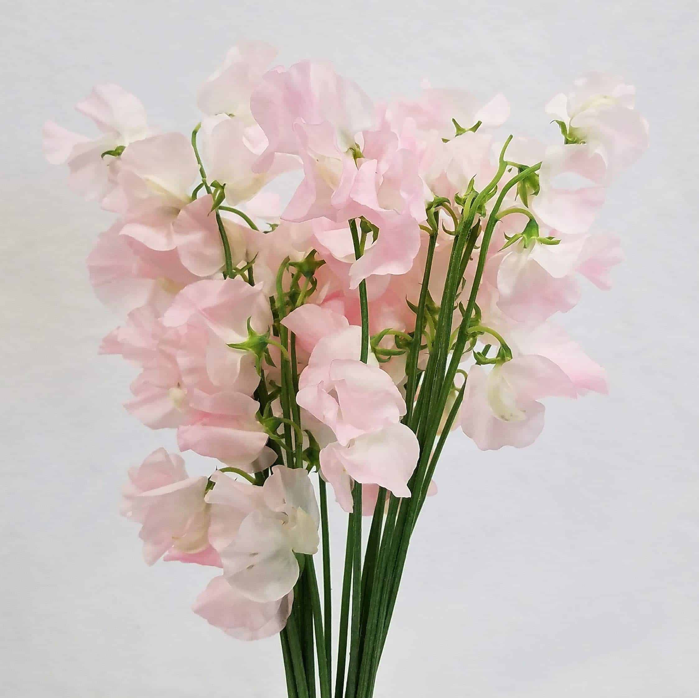 Mayesh Luxe Blooms Japanese Sweet Peas