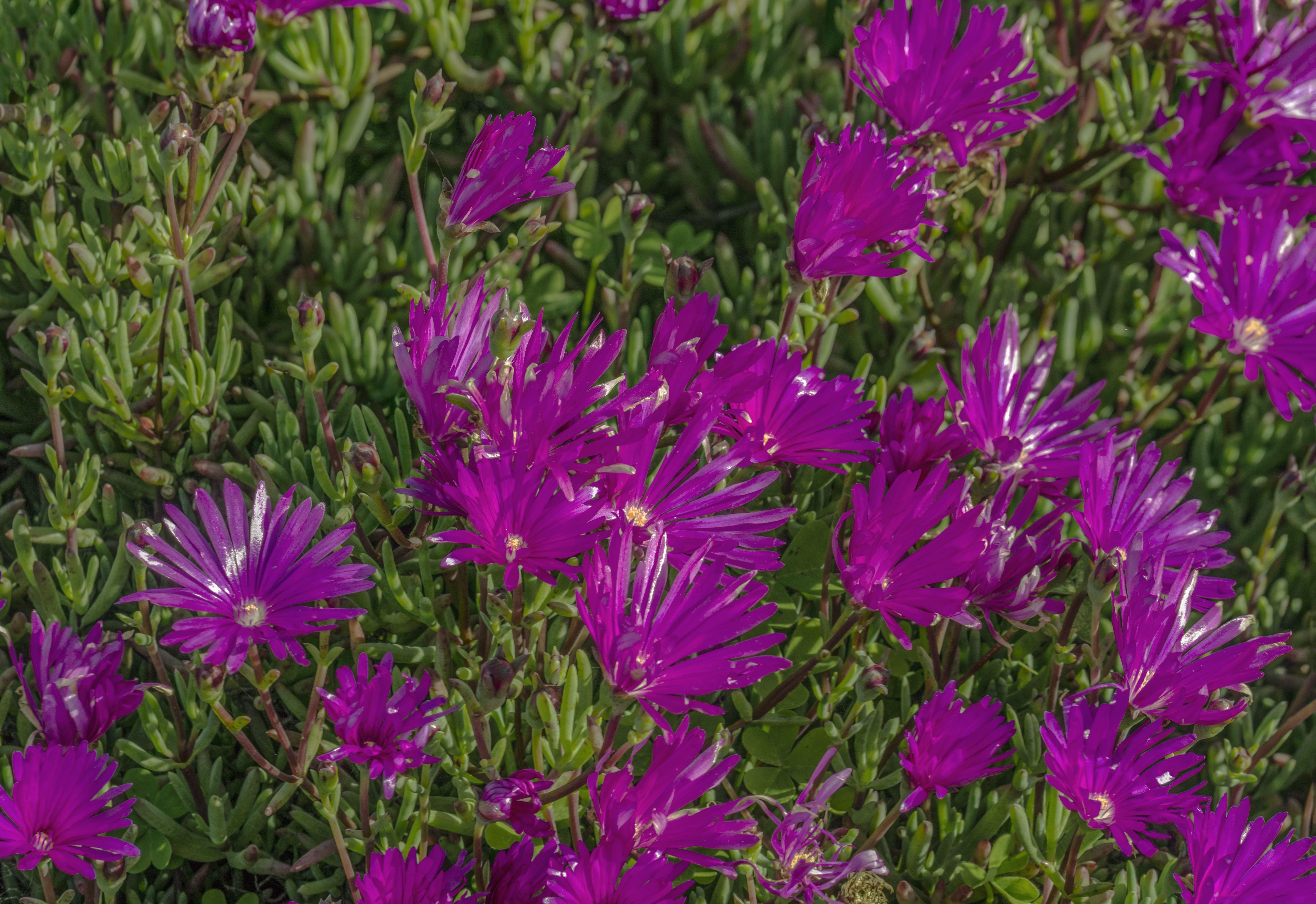 flowering ice plant 5b1f d1cf003c3437f0