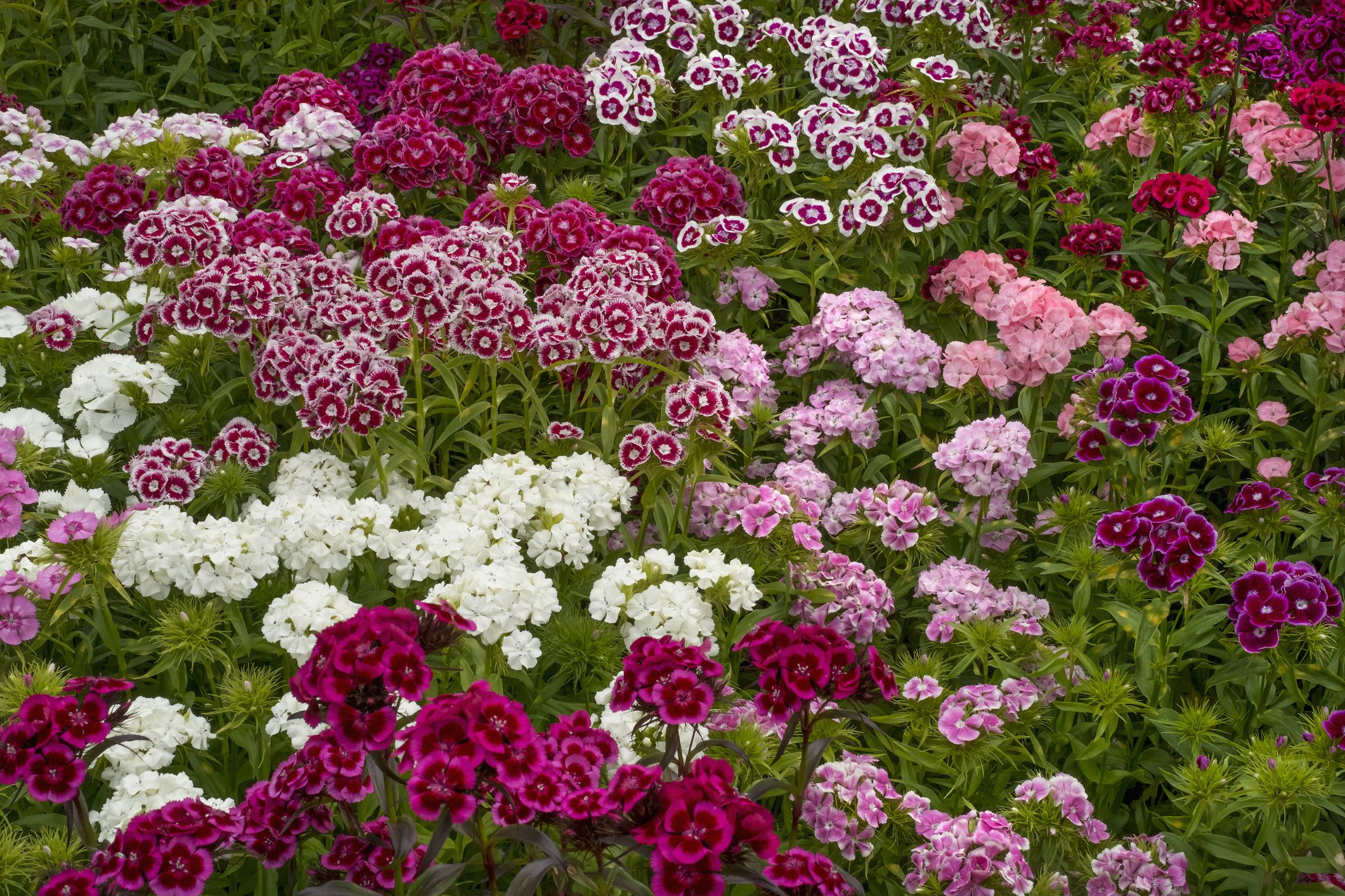 Show Pictures Of Flowers Awesome the Perennial Dianthus Flower