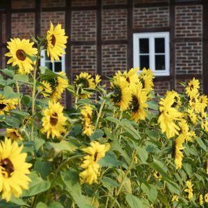 Sunflower Farm Lovely Tips for Growing Sunflowers