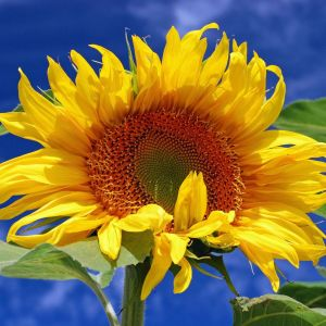 Sunflower Starts Elegant Grow Giant Sunflowers