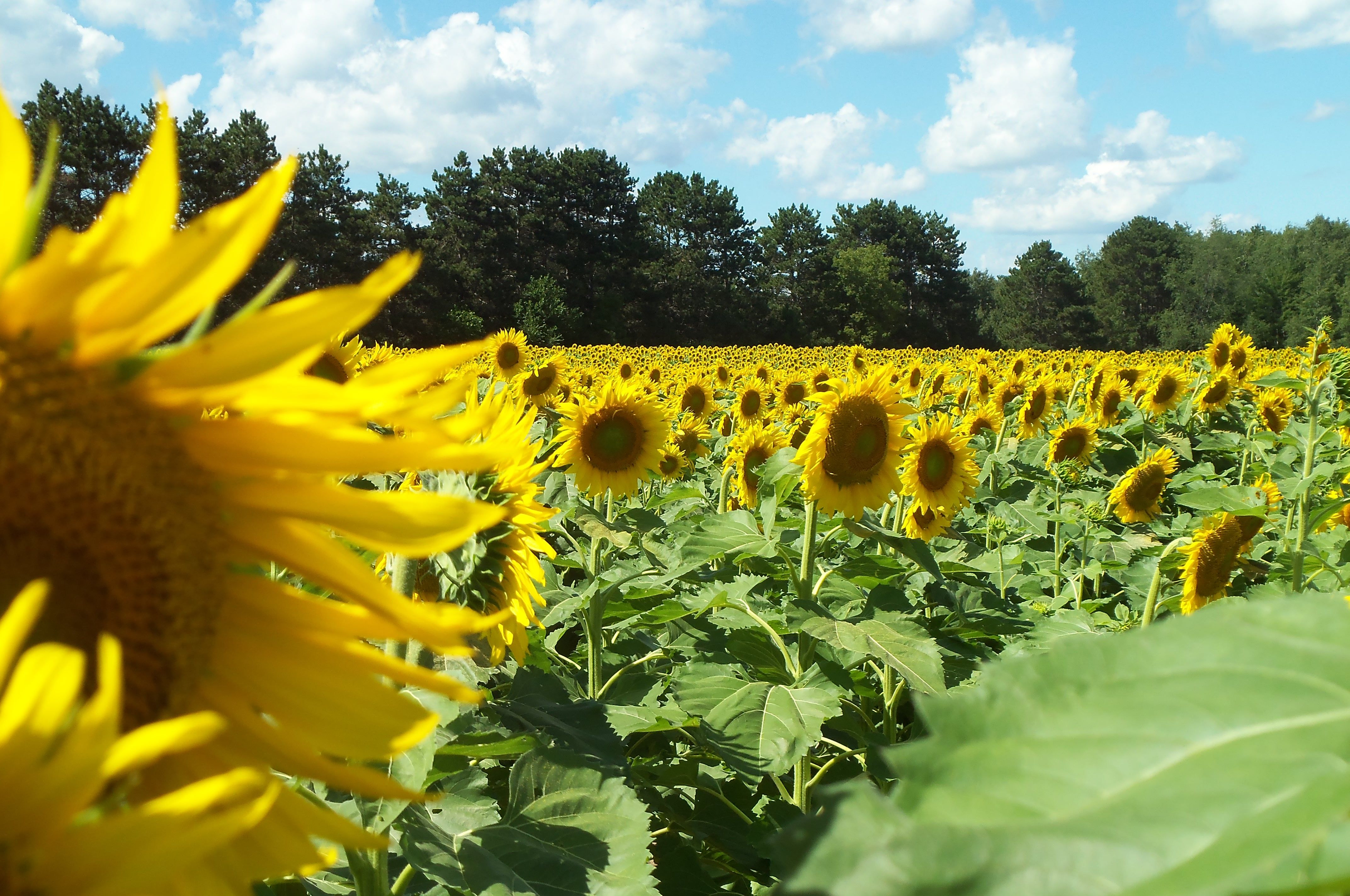 sunflower fields in Cedar MN