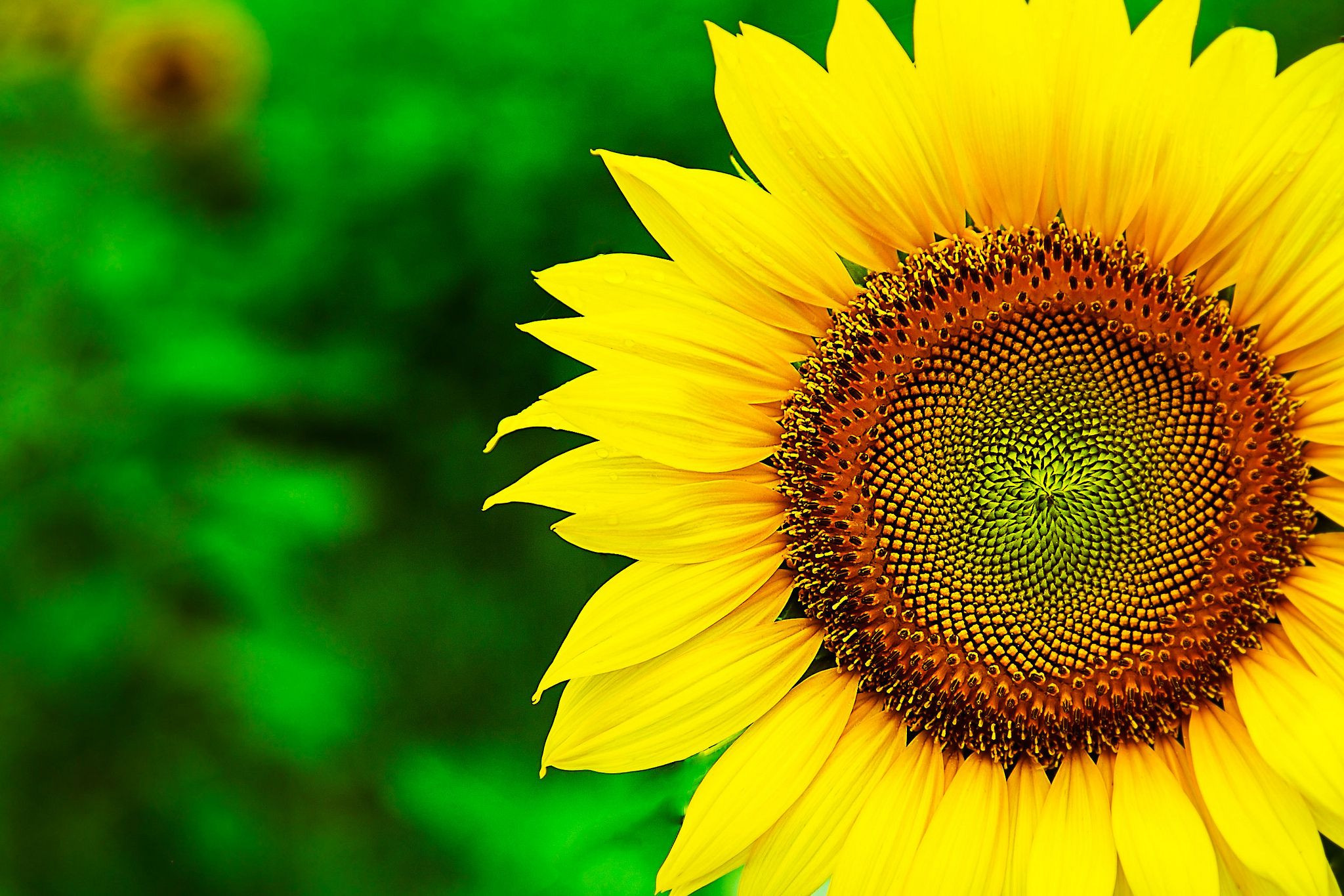 Sunflower Wallpapers Sunflower PC Backgrounds WJ