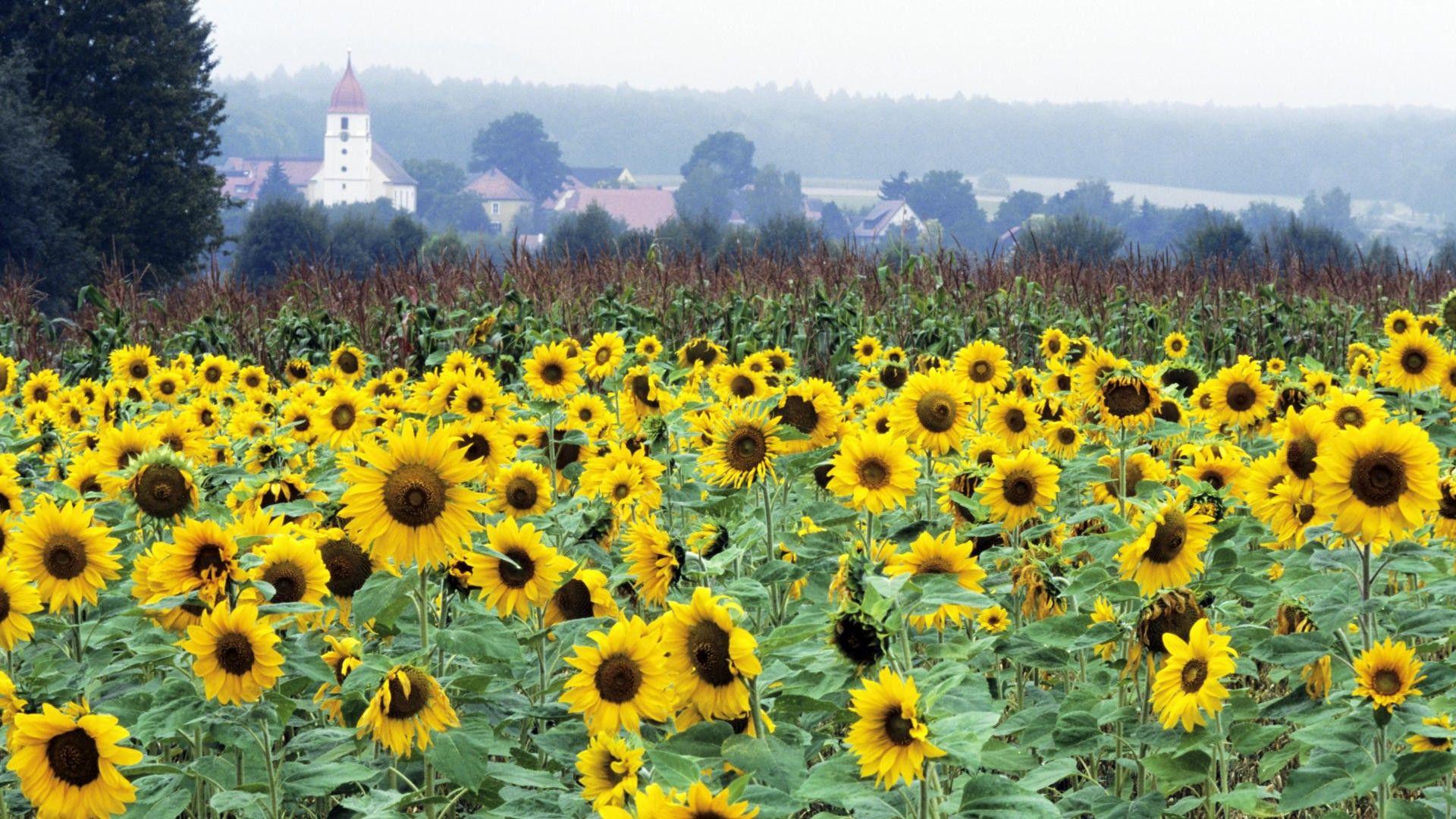 Sunflower fields in Germany