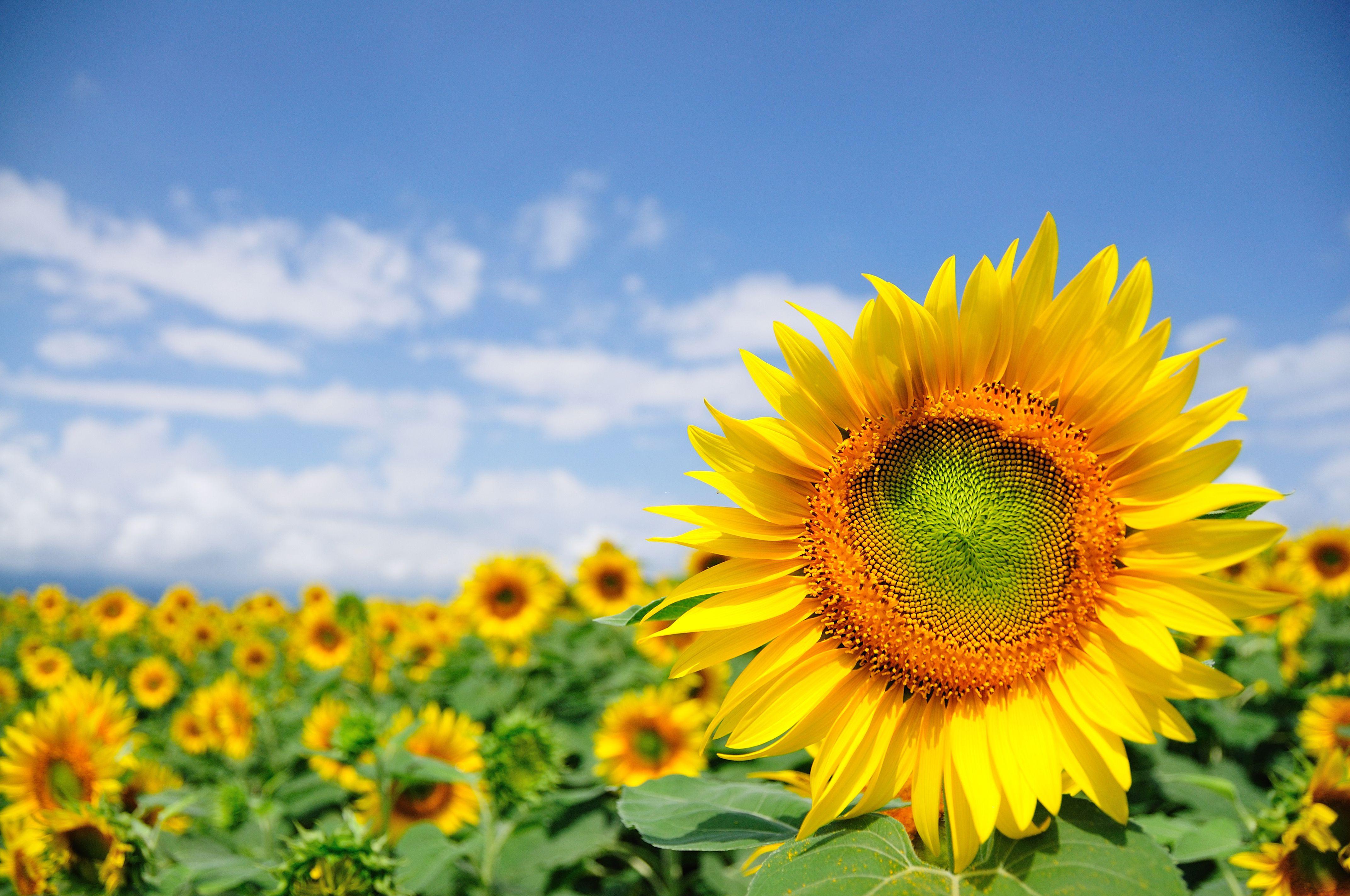 sunflower field 5a f96f7d dd24