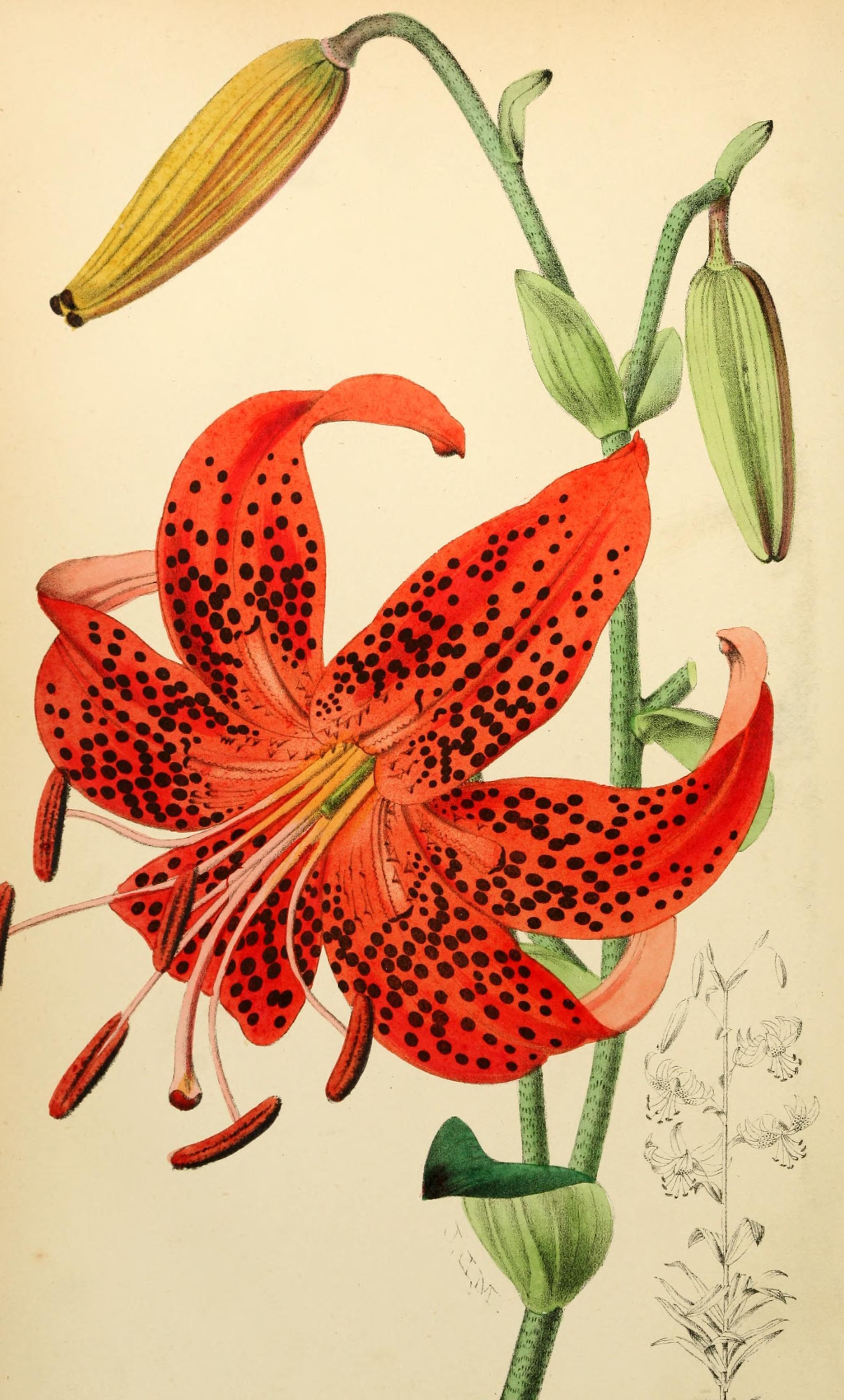 Tiger Lily Lilium lancifolium circa 1873