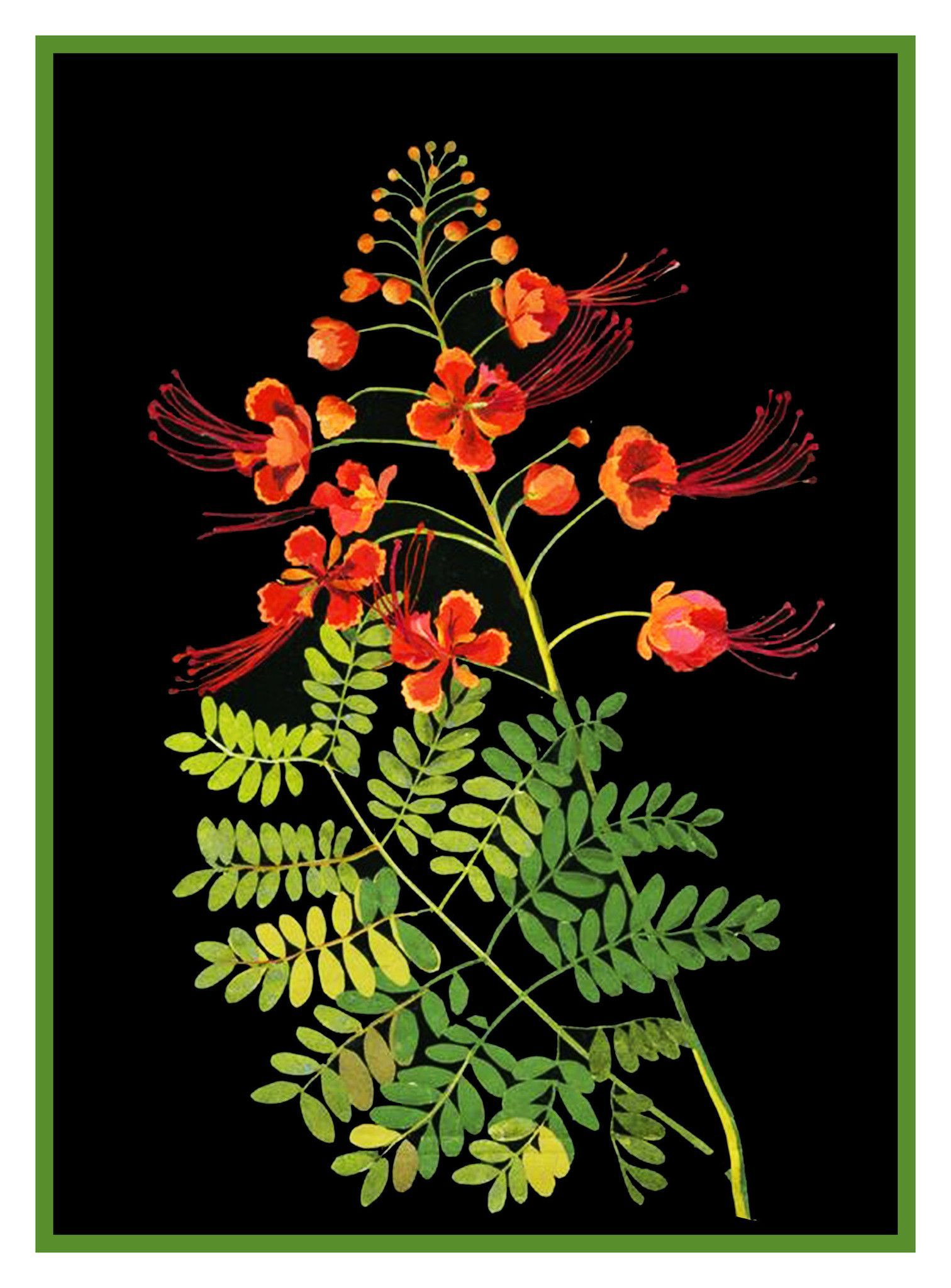 What Color Flower Means Friendship Best Of Pride Of Barbados Peacock Flowers by Mary Delany Counted Cross