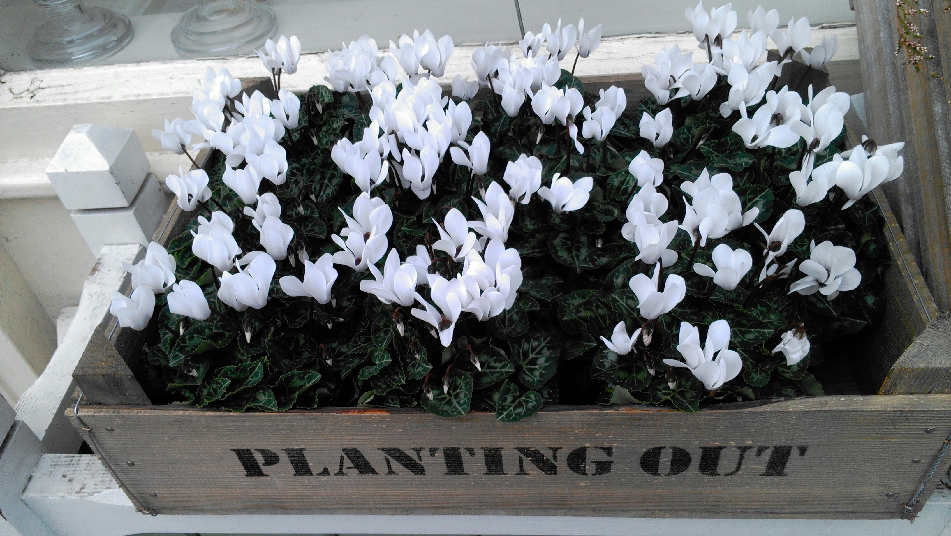 high angle view of white cyclamen flowers growing in wooden box 59d3c6c6685fbe0011d5930c