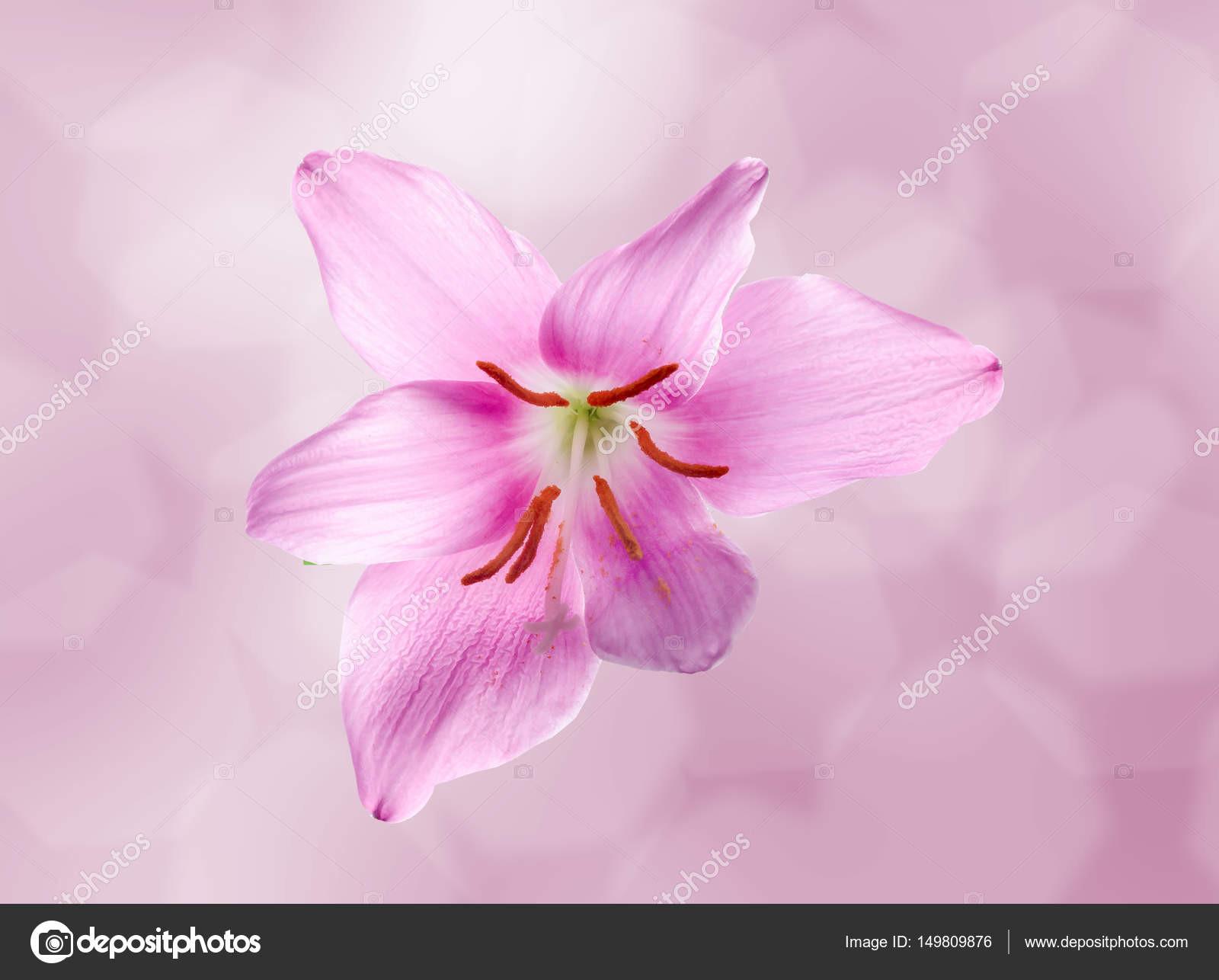 Růžová fialová Zephyranthes květina Detailn záběr izolovanou blé pozad Společné názvy pro druhy tohoto rodu patř vla lily rainflower zephyr lily