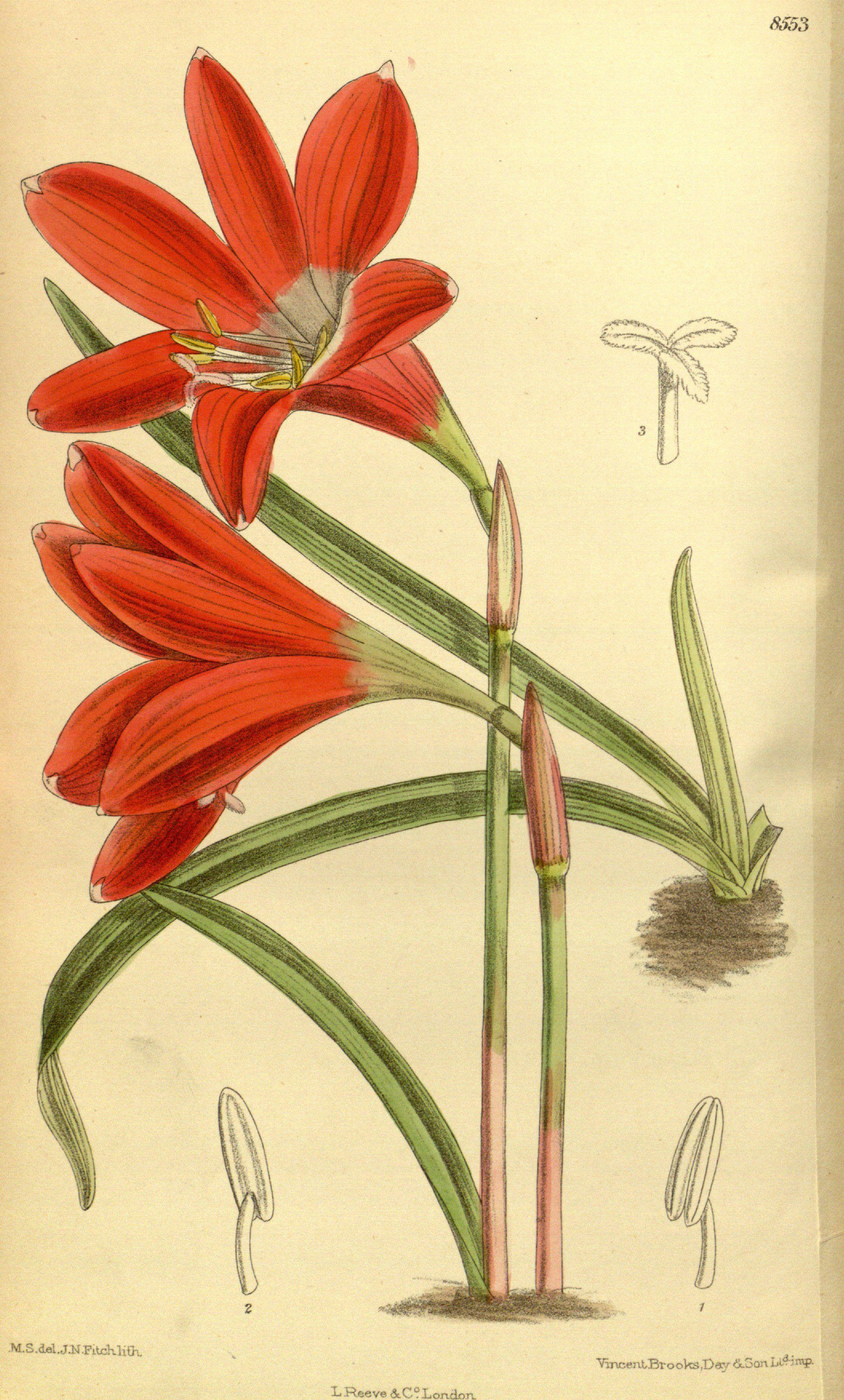 Zephyranthes cardinalis