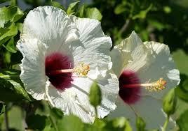 White Hisbiscul Flower