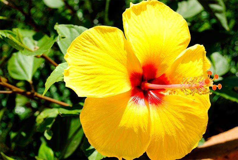Yellow-Hibiscus Flower