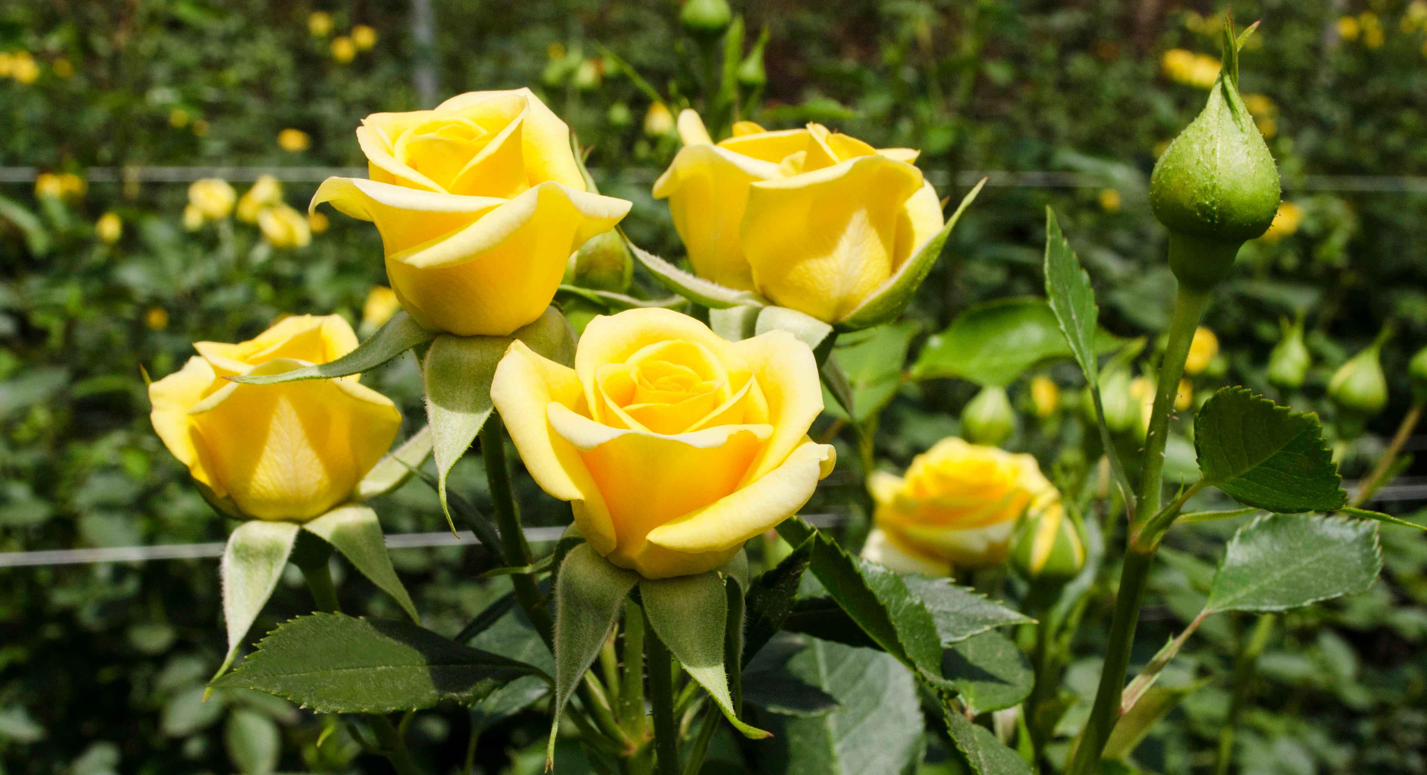 Yelow Rose Ecuador Flowers