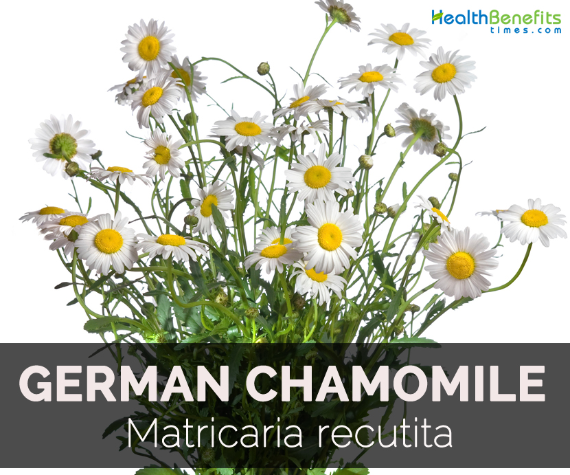 Chamomile (Roman and German) Herbs For Health (Health Benefits Times)