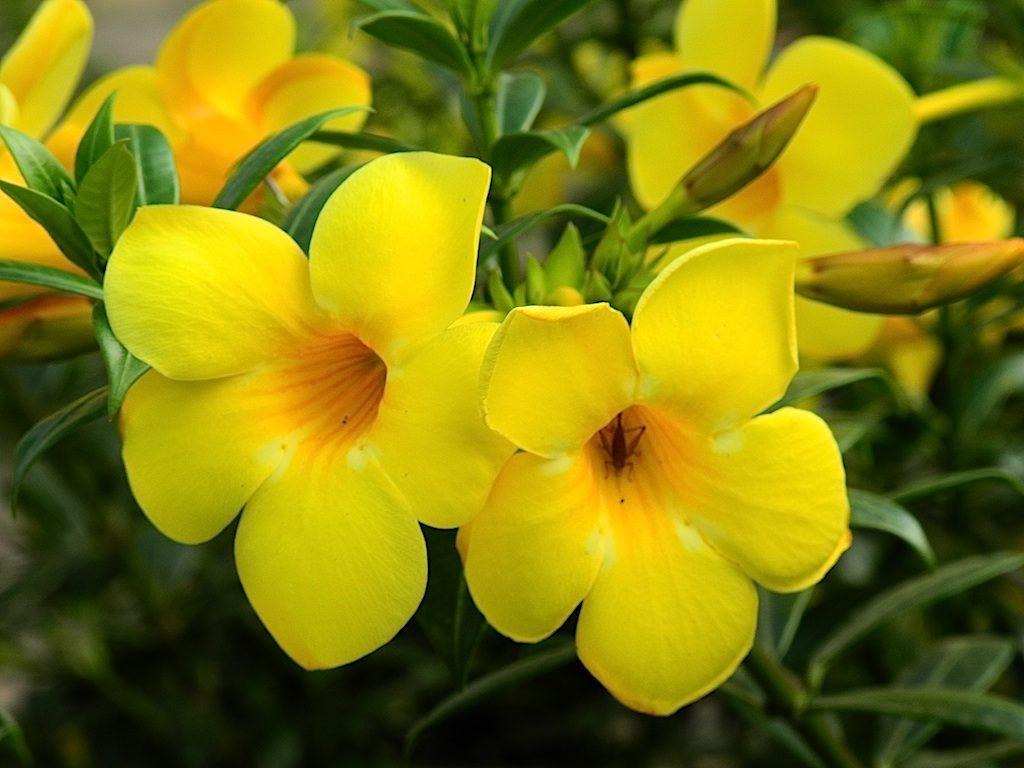 Characteristics of Alamanda Flowers (flowerpictures.net)