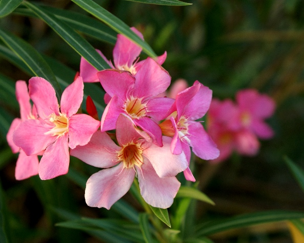 Do adequate maintenance and maintenance Oleander Flower