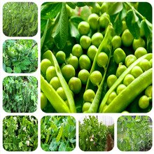 Dutch-beans-vegetable-plant-peas-green-healthy-vegetables-potted-home-garden-planting (AliExpress)