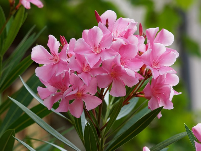 Give enough distance between flowers one with another Oleander Flower