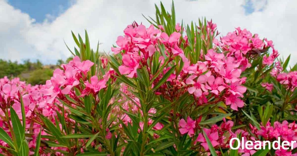 How To Plant A Very Easy Oleander Flower