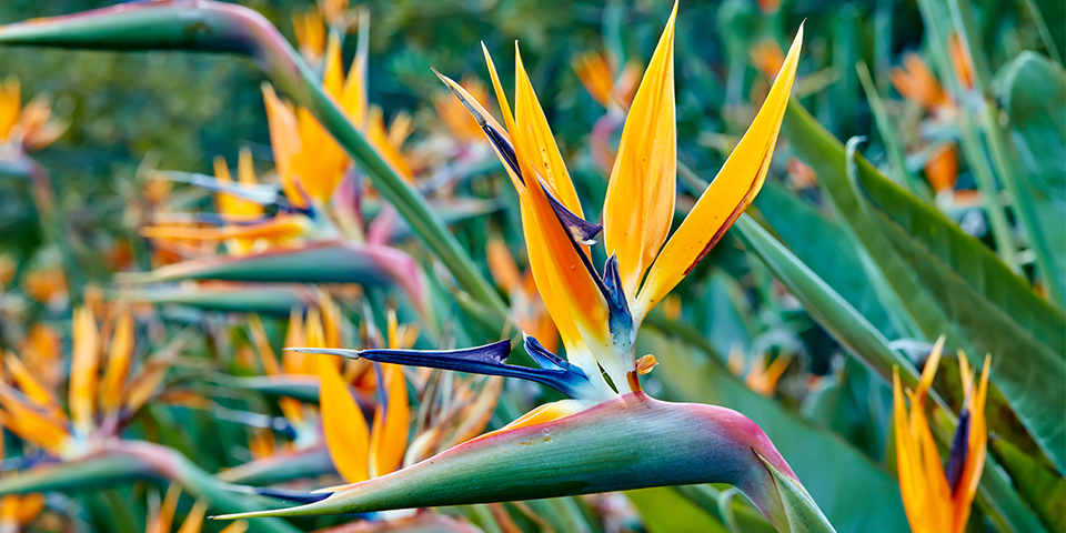 How to Plant an Easy and Simple Bird of Paradise Flower