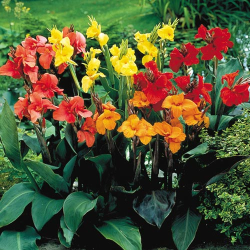 How to buy Canna Lily bulbs (seedsnpots.com)