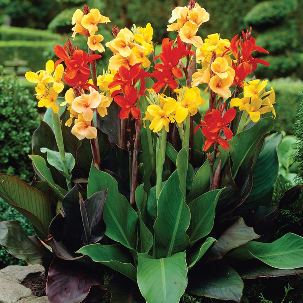 How to pick Canna Lily bulbs (The Home Depot)