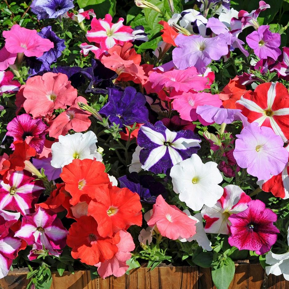 Maintenance Morning Glory Flowers