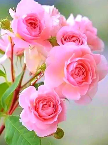 Organic Rose Gardening (amazon.in)