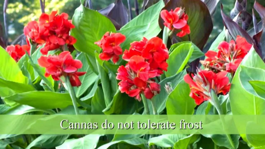 Picking and Planting Canna Lily Bulbs (YouTube)