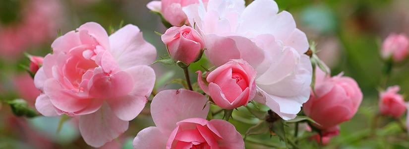 Rose Gardening-Secrets To Success (Bioadvanced)