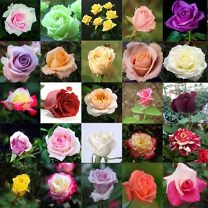 Species of Roses how many roses are in the world today
