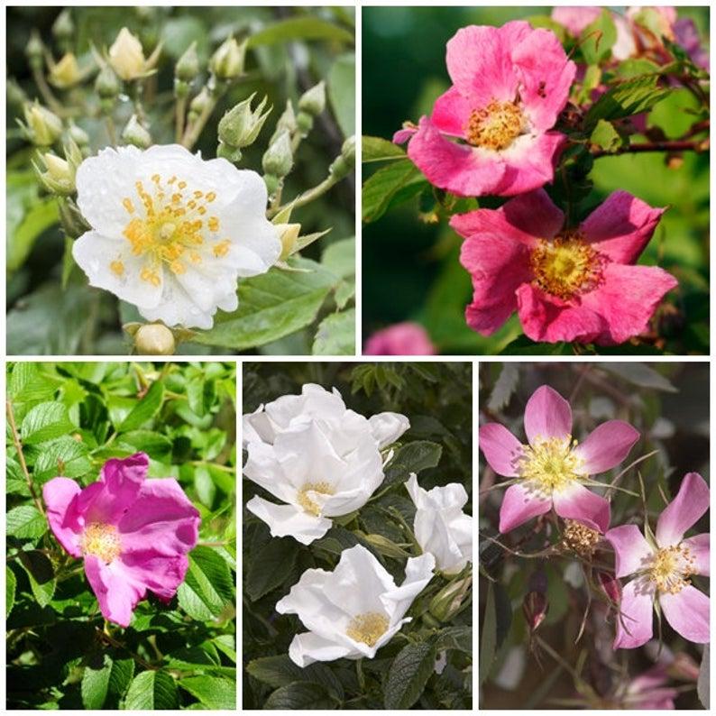 Species of Roses