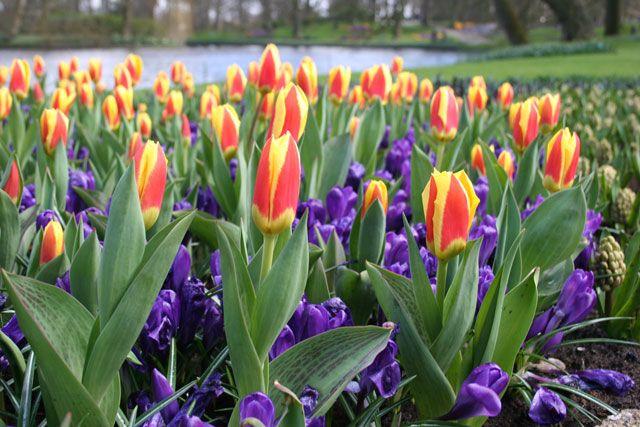 Tulips planting techniques