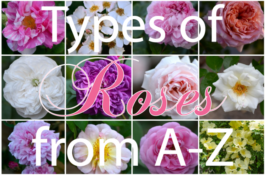 Types of Roses In The World from A - Z