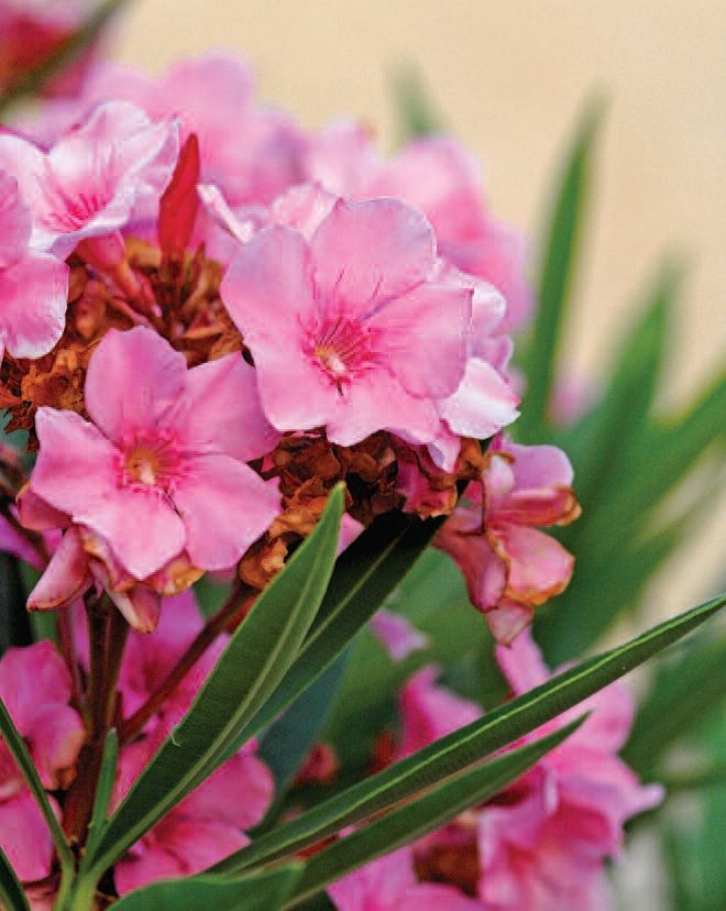 Watering the water to taste Oleander Flower