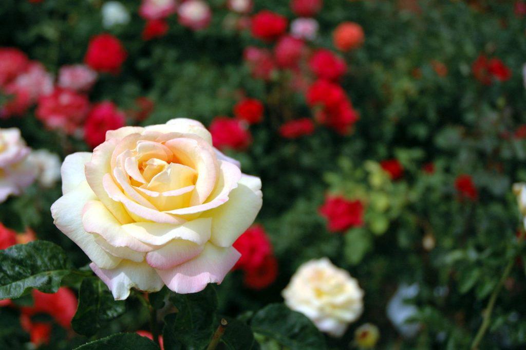 Basic Rose Care For Your Garden (Gardenerdy)