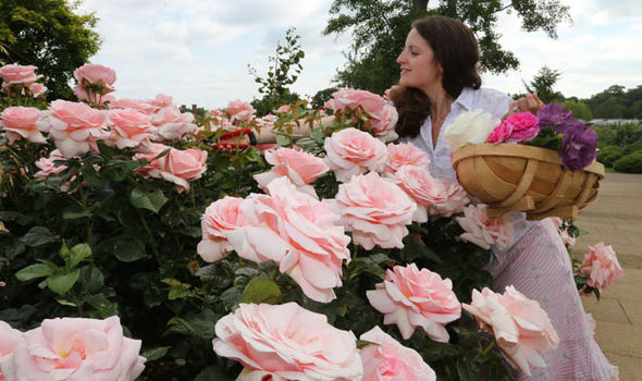 Basic Rose Care For Your Garden (express.co.uk)