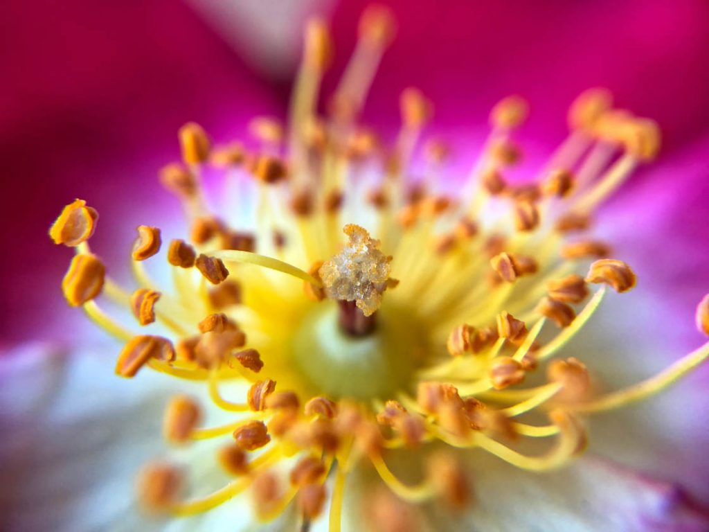 Beautiful Flower Macro Photography (iPhone Photography School)