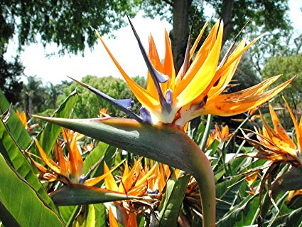 Birds of Paradise Exotic and Rare Plants (amazon)