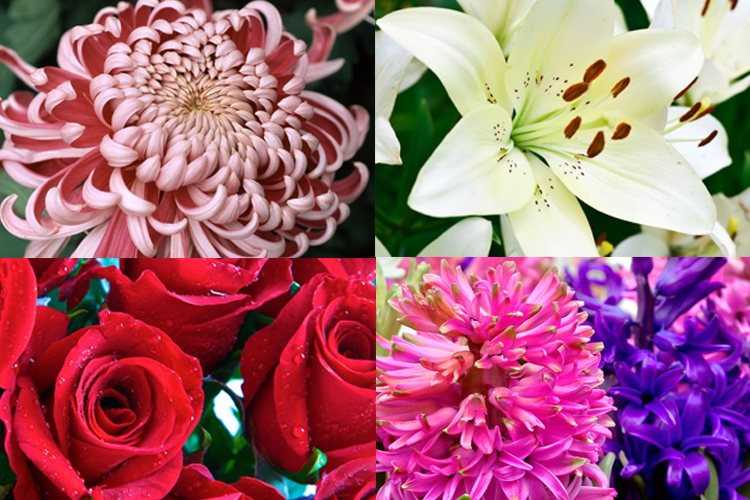 Chrysanthemum Types of Flowers to Give at a Funeral (Everplans)