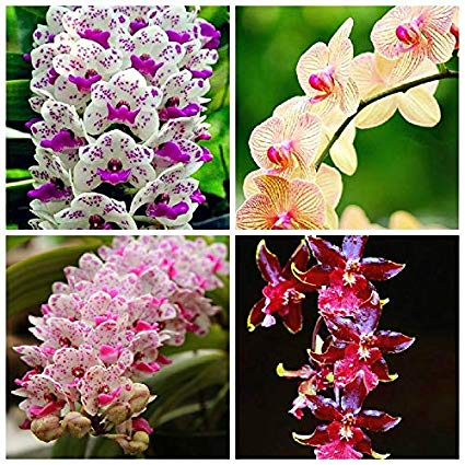 Cymdidiums Exotic and Rare Plants (amazon)