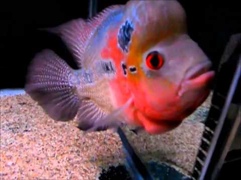 Flower Horn is very aggressive and big fish hence needs a big and well set aquarium