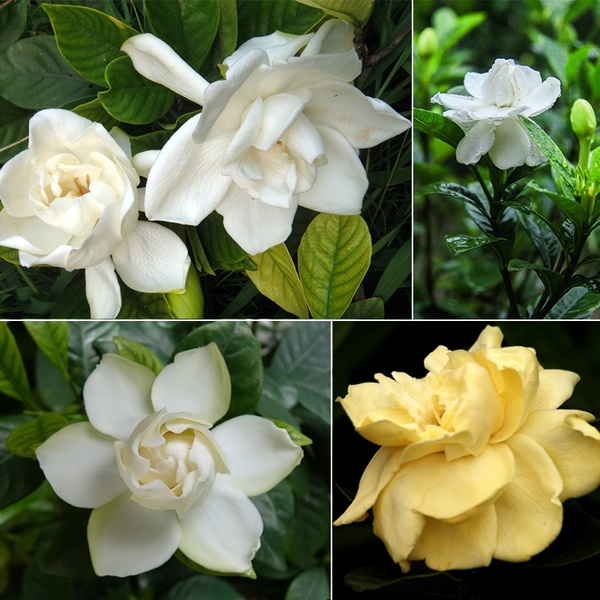 Gardenias Exotic and Rare Plants (Wish)