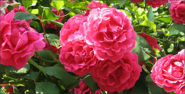 How to Prune Overgrown Rose Bushes (Rootwell ProductsInc)